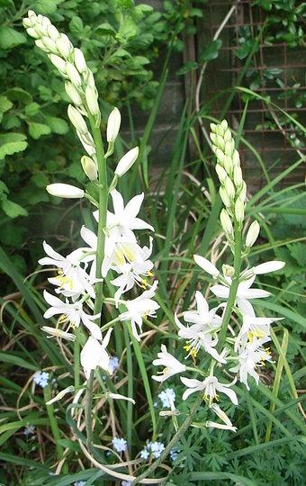 Anthericum liliago 'Major' (Anthericum liliago 'Major')