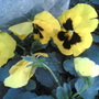 Shy pansies hiding their faces