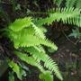 Nephrolepis cordiflora