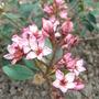 Raphiolepis x delacourii 'Coates Crimson' (Raphiolepis x delacourii 'Coates Crimson')