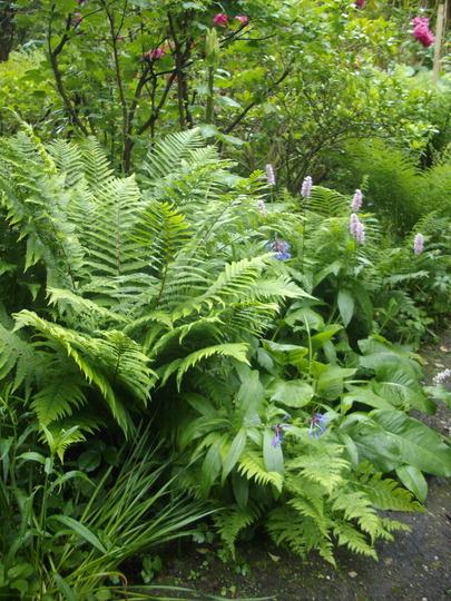 Polypodium fern 2 (Polypodium)