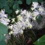 Thalictrum aquilegiifolium var album (Thalictrum aquilegiifolium 'Thundercloud')