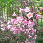 Weigela florida 'Foliis Purpureis' (Weigela florida)