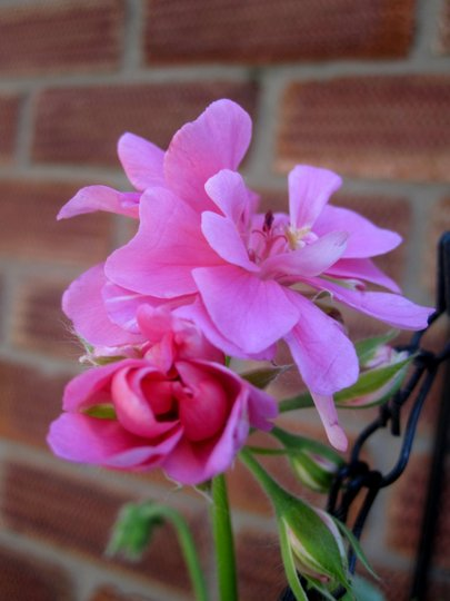 Trailing Pelargonium