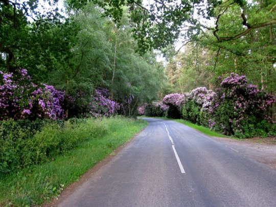 Rhododendrons near Cholmondeley castle
