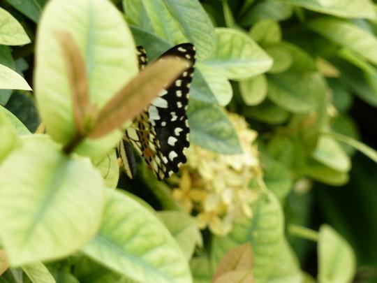 Butterfly flirting