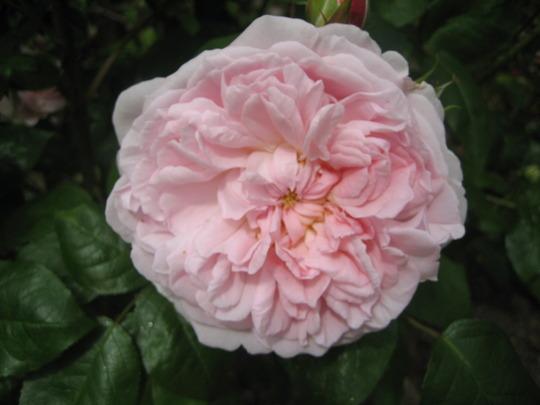 Rose Eglantyne