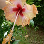 Hibiscus after the rain (Hibiscus rosa-sinensis (Chinese Hibiscus))