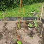 Runner bean planted today