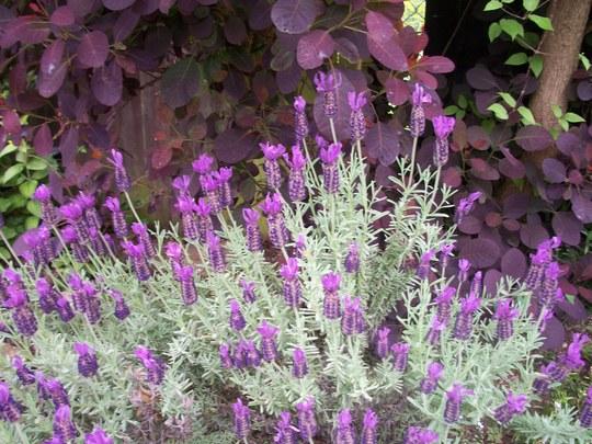Lavender beneath Cotinus Coggygria,royal purple 'Smokebush' (Lavandula angustifolia)