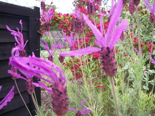 Lavender 'Papillon' (lavandula stoechas 'Papillon')