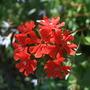 Lychnis chalcedonica (Lychnis chalcedonica (Jerusalem cross))