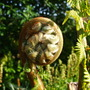 tree fern (dicksonia antartica)