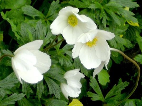 White anemones look so pure.f (Anemone de Caen)
