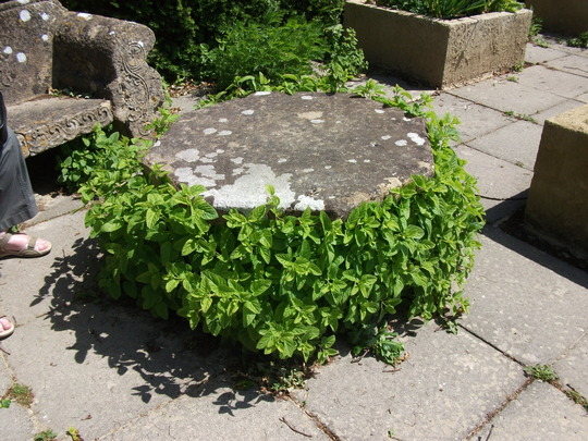 Mint table in the herb garden Herstmonceux Castle