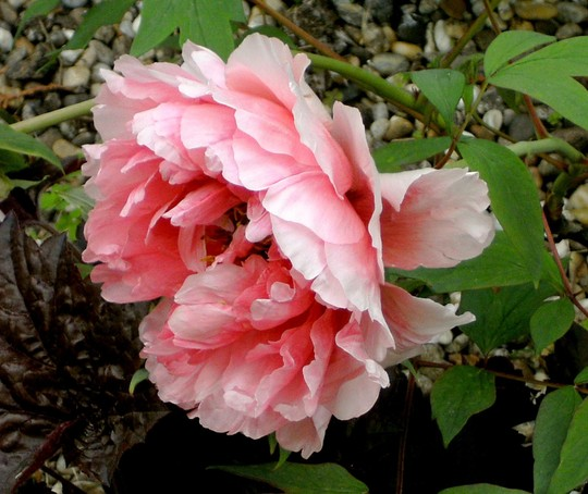 These peony flowers on the tree get bigger every day, They are huge. (Paeonia suffruticosa (Moutan))