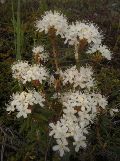 Rhododendron subarcticum