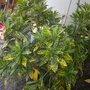 Codiaeum variegatum 'Gold Dust' - Gold Dust Croton Plant (Codiaeum variegatum 'Gold Dust' - Gold Dust Croton Plant)