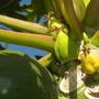 Carica papaya ' Maradol' - Baby Papayas Developing (Carica papaya ' Maradol')