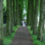 Lady Lucy's Walk (Tilia x europaea)