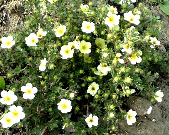 Potentilla in flowers (Potentilla fruticosa)