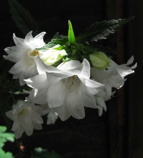 Campanula trachelium 'Alba Flore Pleno' - 2010 (Campanula trachelium)