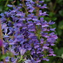 Penstemon 'Heavenly Blue' (Penstemon heterophyllus (Penstemon))