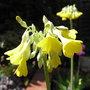 Primula sikkimensis - 2010 (Primula sikkimensis)