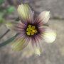 Sisyrinchium_biscuitella_2010