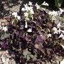 Trifolium_repens_purpurescens_2010
