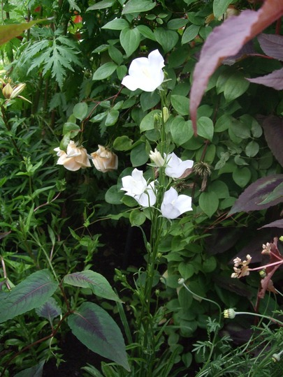 Campanula persifolia 'Takion White' (Campanula persicifolia (Peach-leaved bellflower))