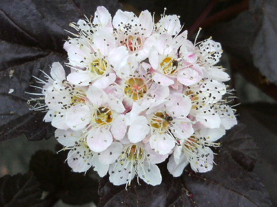 Physocarpus  'Lady in Red ' Flower