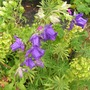 Canterbury bells (Campanula medium (Canterbury bells))