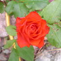 Unknown_patio_rose