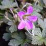 Sue Crug (Geranium)
