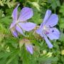 geranium Nimbus (Geranium)