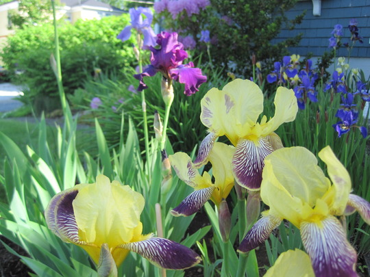 here is a bigger view of some of my iris garden (Iris germanica (Orris))