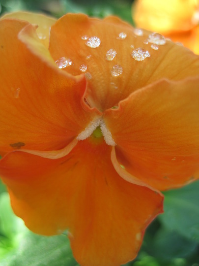 orange variety (viola odorata, viola tricolor, viola cornuta)
