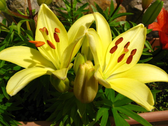 Ok just one more shot of lillies