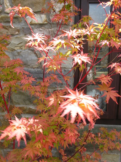 Acer bobbing about in the light (acer)
