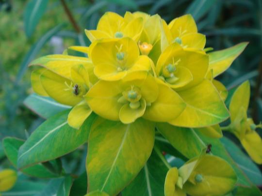 Euphorbia - June 2010