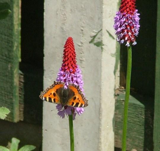 butterfly (tortoiseshell) on primula vialli