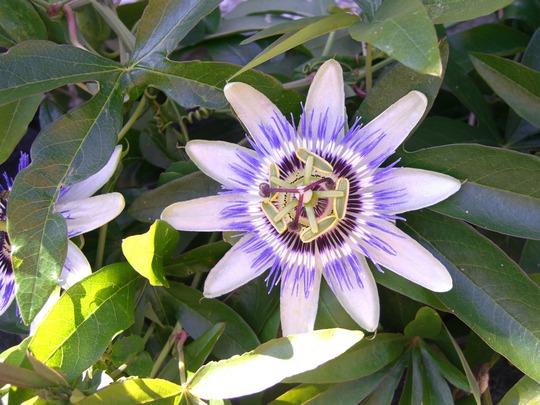 A garden flower photo (Passiflora caerulea)