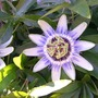 070720_passionflower
