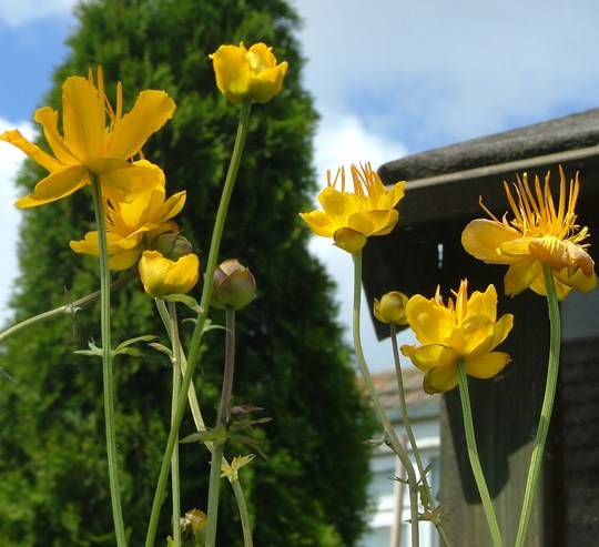 "trollius chinensis ""golden queen"""