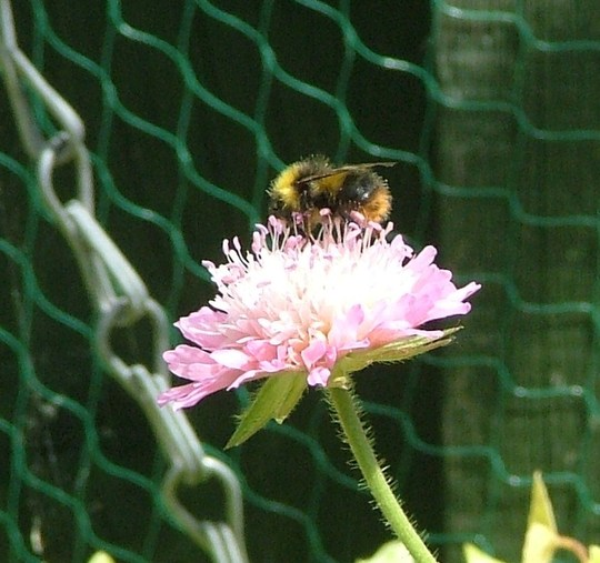 bee on knautia melton pastels
