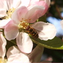 Apple Blossom and Hoverfly (Malus)