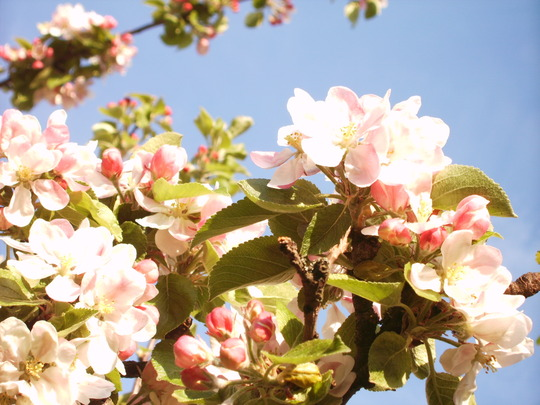 Apple Blossom (Malus)