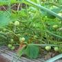 strawberry patch (Fragaria x ananassa (Garden strawberry))
