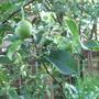 apple tree (apple)